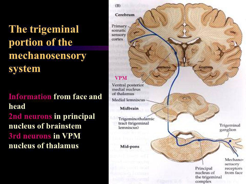 The trigeminal portion of the mechanosensory system Information from face and head 2nd neurons in principal nucleus of brainstem 3rd neurons in VPM nu