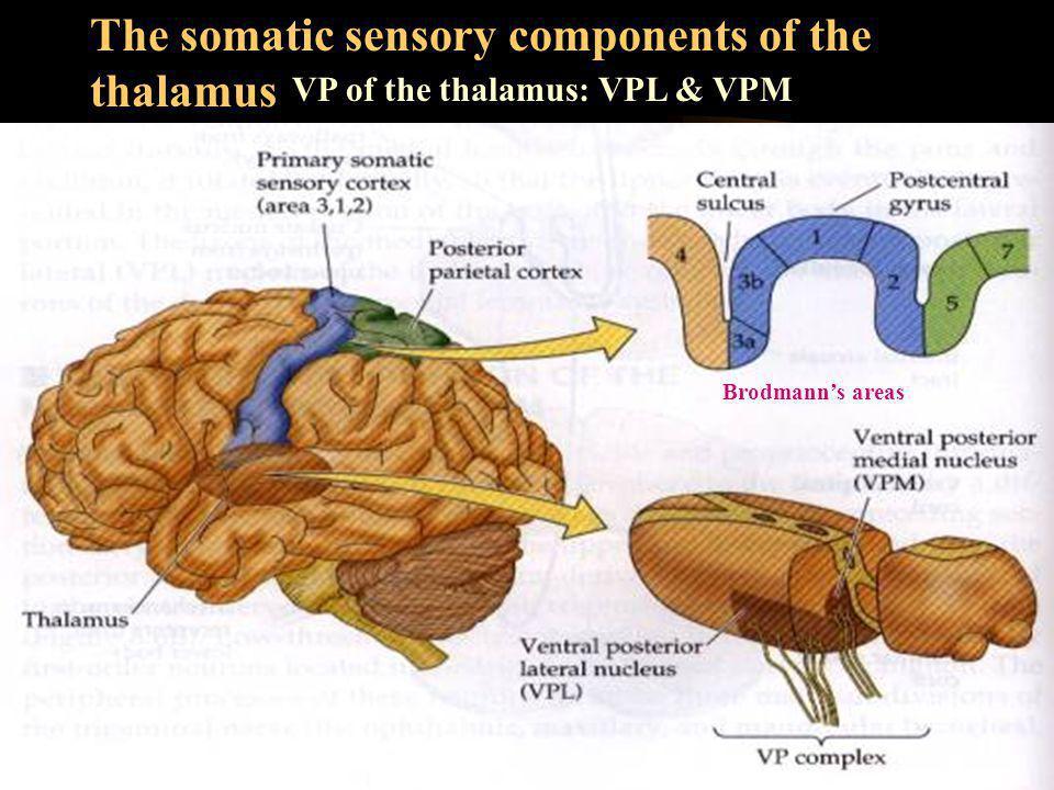 The somatic sensory components of the thalamus VP of the thalamus: VPL & VPM Brodmann's areas