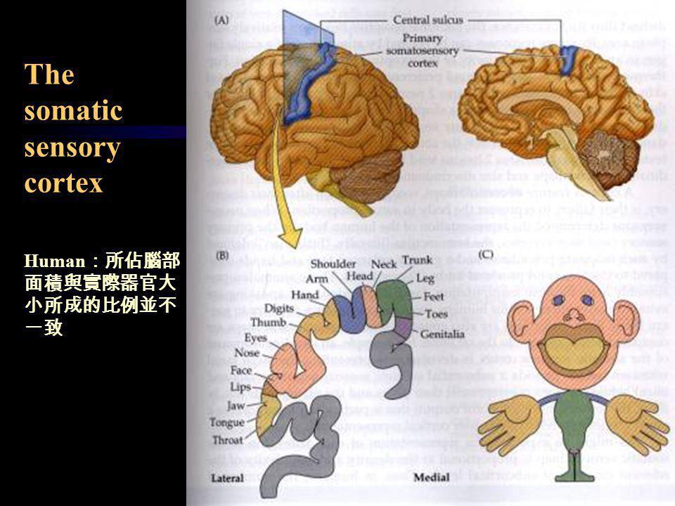 The somatic sensory cortex Human :所佔腦部 面積與實際器官大 小所成的比例並不 一致