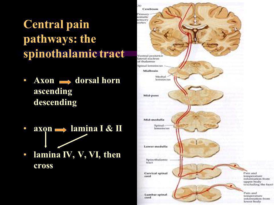 Central pain pathways: the spinothalamic tract Axon dorsal horn ascending descending axon lamina I & II lamina IV, V, VI, then cross