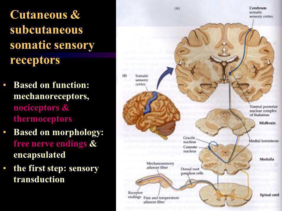 Cutaneous & subcutaneous somatic sensory receptors Based on function: mechanoreceptors, nociceptors & thermoceptors Based on morphology: free nerve en
