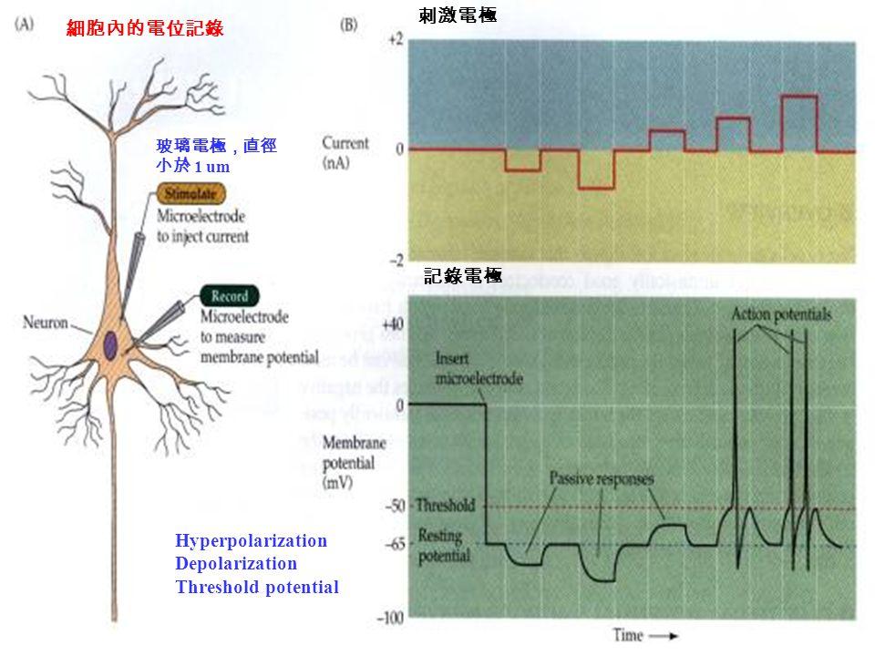 細胞內的電位記錄 玻璃電極,直徑 小於 1 um 刺激電極 記錄電極 Hyperpolarization Depolarization Threshold potential