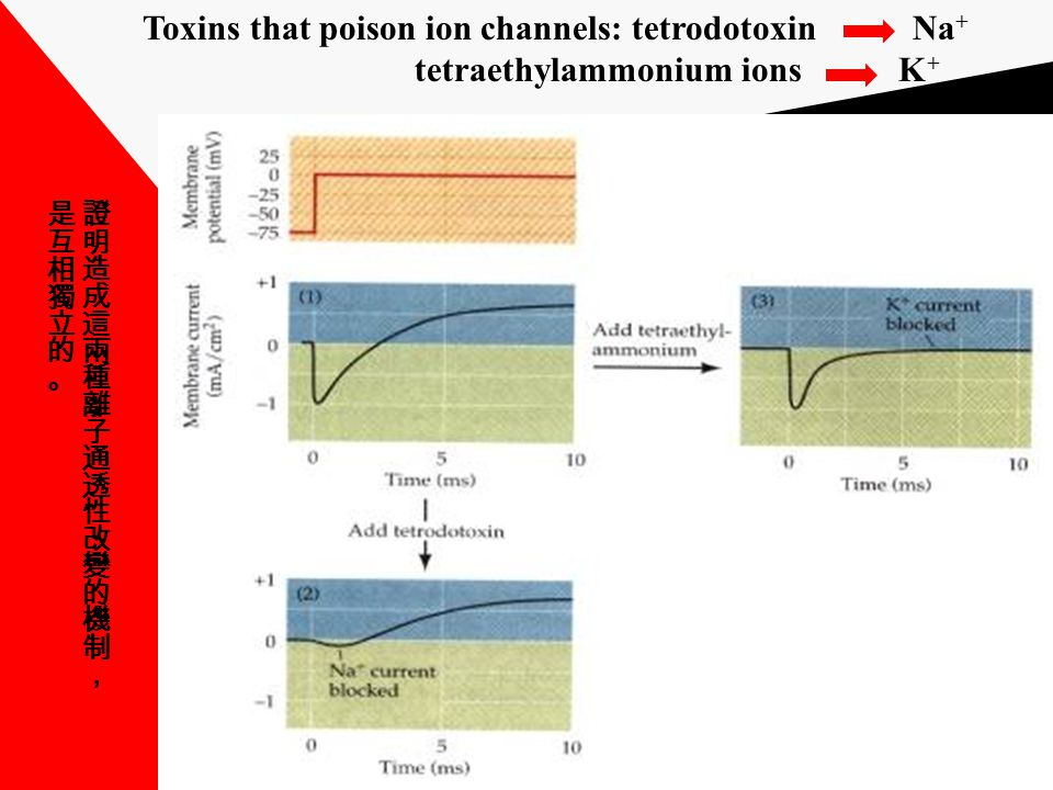 Toxins that poison ion channels: tetrodotoxin Na + tetraethylammonium ions K +