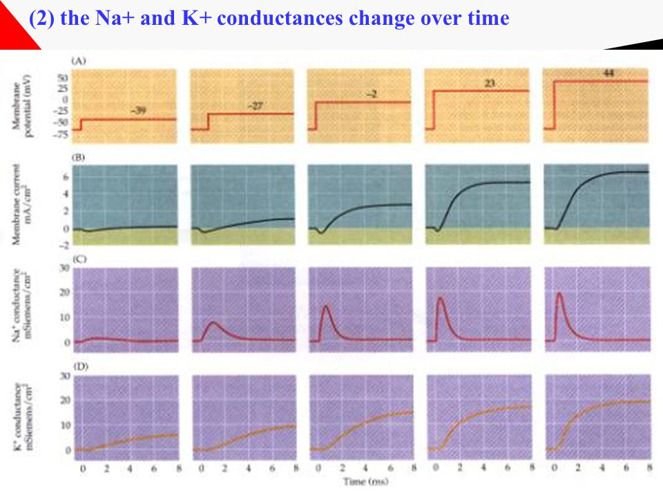 (2) the Na+ and K+ conductances change over time
