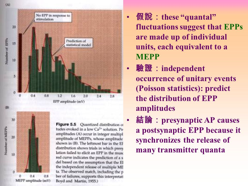 假說: these quantal fluctuations suggest that EPPs are made up of individual units, each equivalent to a MEPP 驗證: independent occurrence of unitary events (Poisson statistics): predict the distribution of EPP amplitudes 結論: presynaptic AP causes a postsynaptic EPP because it synchronizes the release of many transmitter quanta