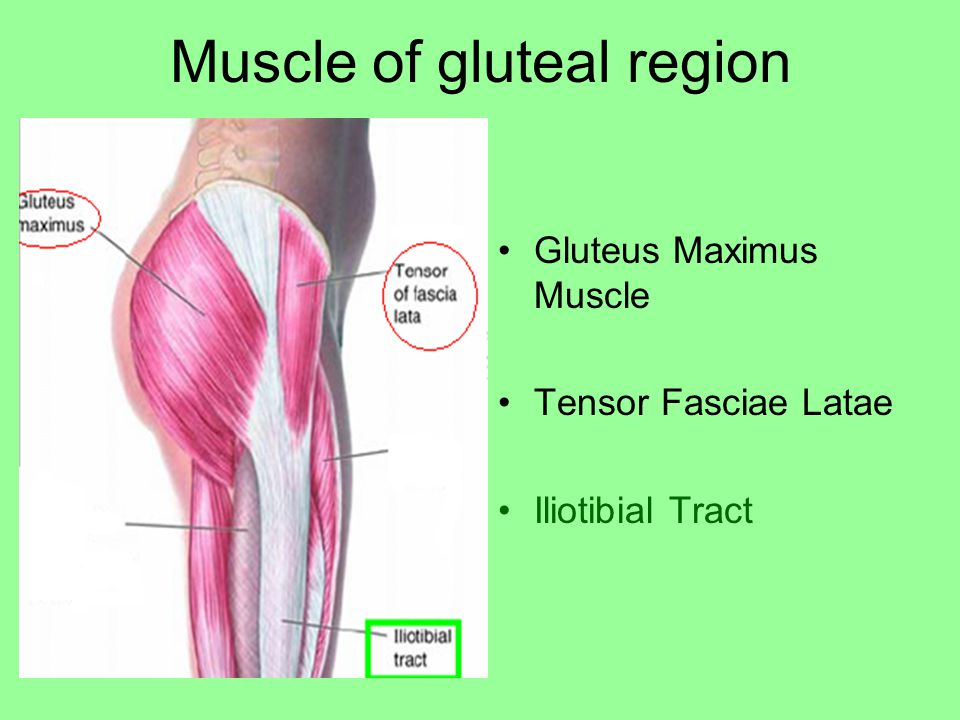 Muscle of gluteal region Gluteus Maximus Muscle Tensor Fasciae Latae Iliotibial Tract