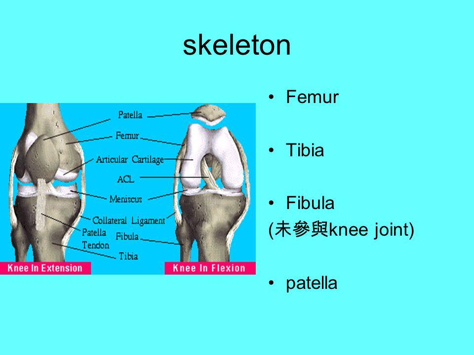 skeleton Femur Tibia Fibula ( 未參與 knee joint) patella