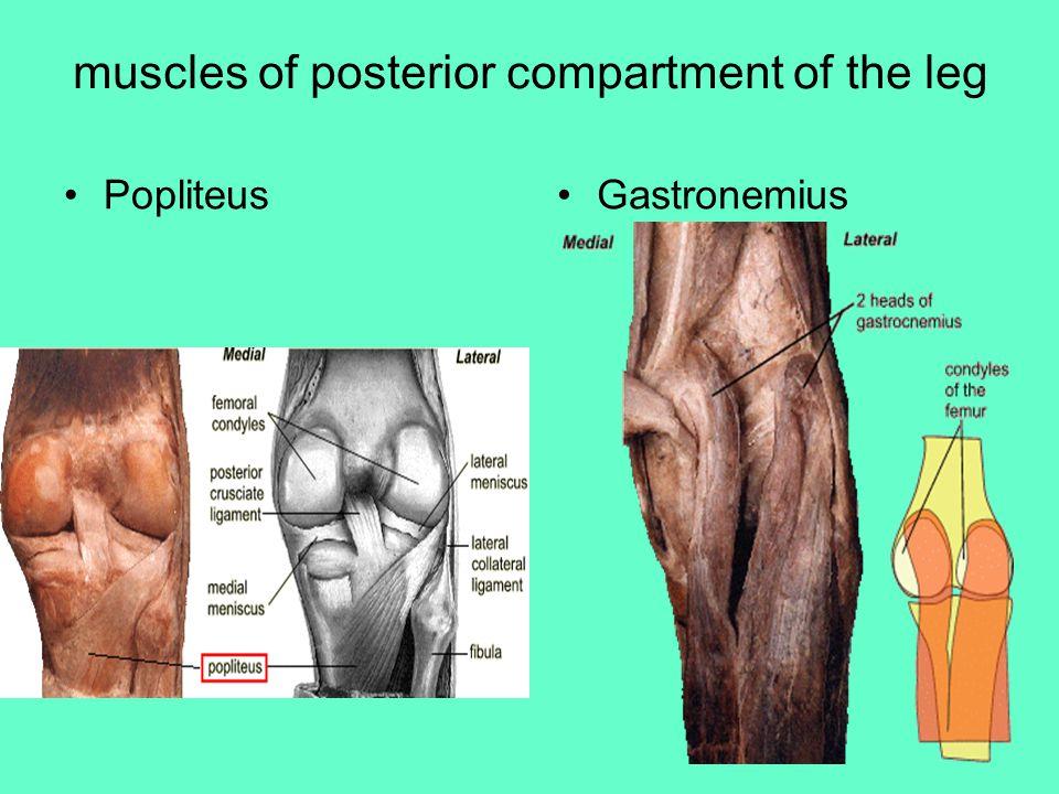 muscles of posterior compartment of the leg PopliteusGastronemius