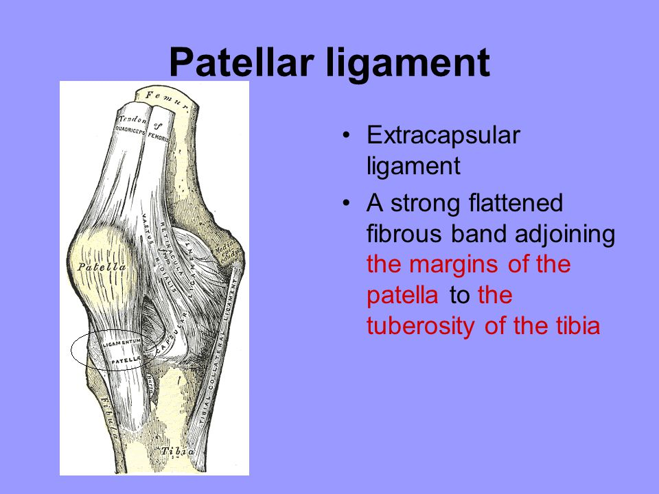 Patellar ligament Extracapsular ligament A strong flattened fibrous band adjoining the margins of the patella to the tuberosity of the tibia