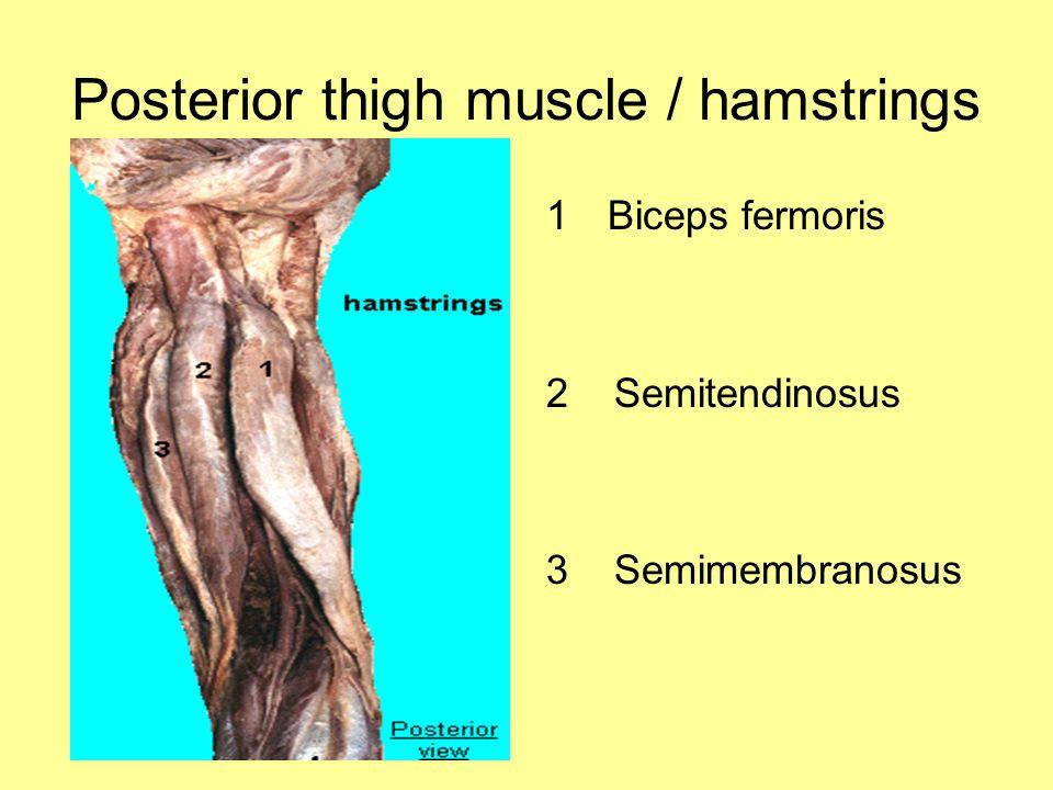 Posterior thigh muscle / hamstrings 1Biceps fermoris 2 Semitendinosus 3 Semimembranosus