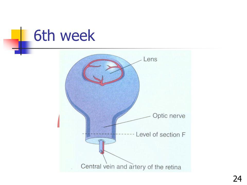 6th week 24