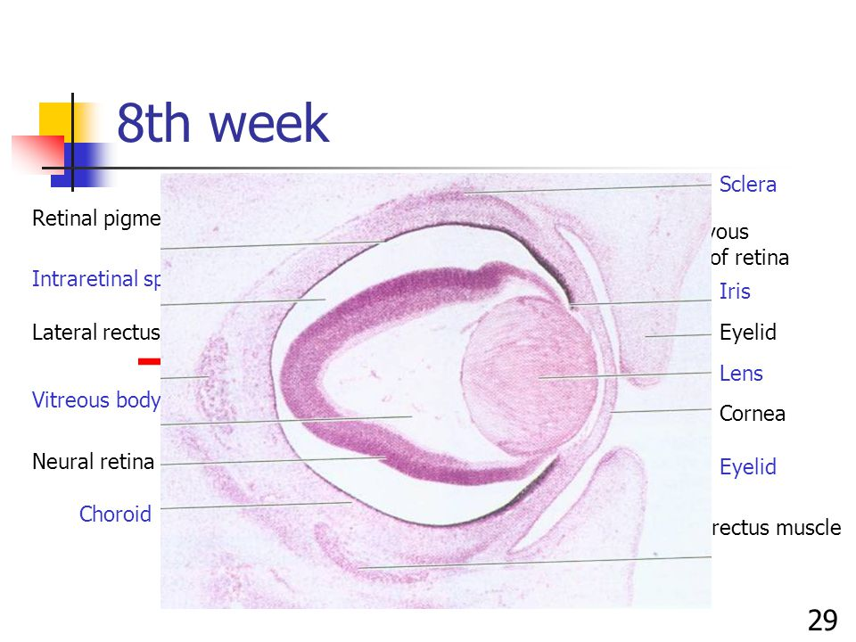 8th week Retinal pigment epithelium Intraretinal space Vitreous body Neural retina Choroid Sclera Iris Eyelid Lens Cornea inferior rectus muscle Lateral rectus muscle Eyelid Nonnervous portion of retina 29