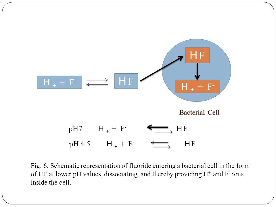 H + + F - HFHF HFHF pH7 H + + F - H F pH 4.5 H + + F - H F Fig.