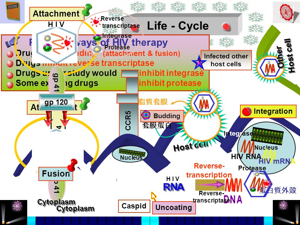 Host cell Life - Cycle Possible ways of HIV therapy Drugs block binding (attachment & fusion) Drugs inhibit reverse transcriptase Drugs under study would inhibit integrase Some existing drugs inhibit protease CCR5 脂質套膜 套膜蛋白 gp 41 Attachment Nucleus Integration 蛋白質外殼 Budding CD4 H I V HIV RNA Cytoplasm H I V gp 41 Attachment Reverse- transcription Uncoating Reverse- transcriptase Integrase HIV mRNA Protease Infected other host cells Cytoplasm Caspid Fusion Other Host cell gp 120 Reverse transcriptase Integrase Protease