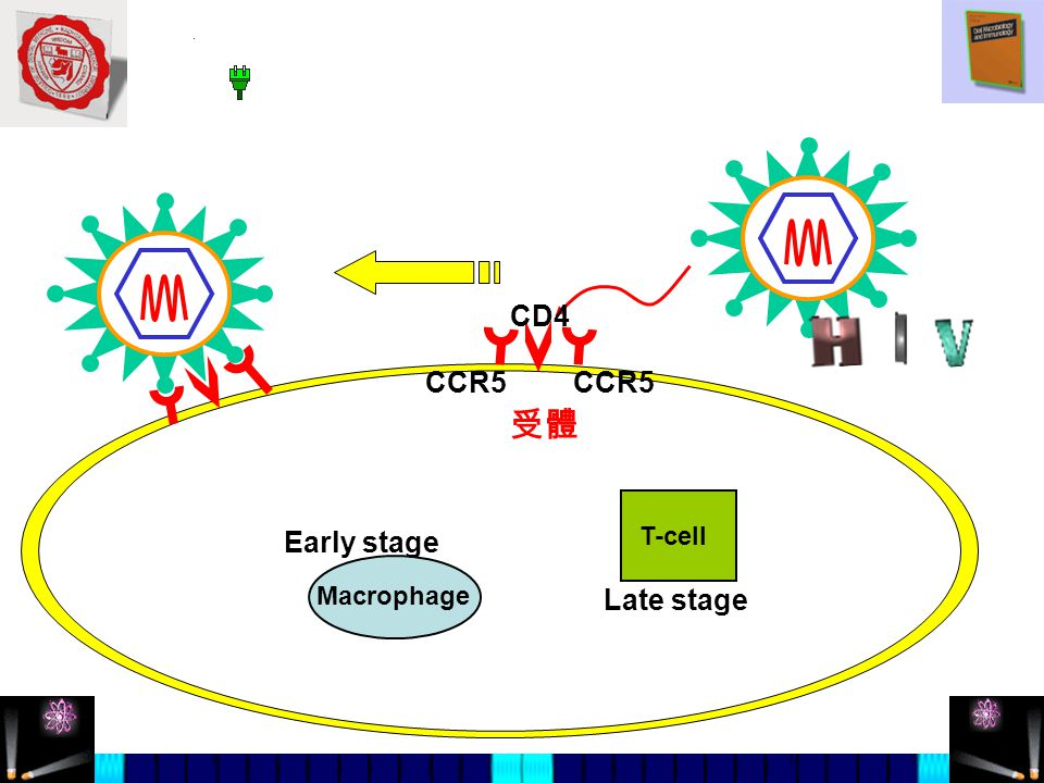 受體 CD4 CCR5 Macrophage T-cell CCR5 Early stage Late stage