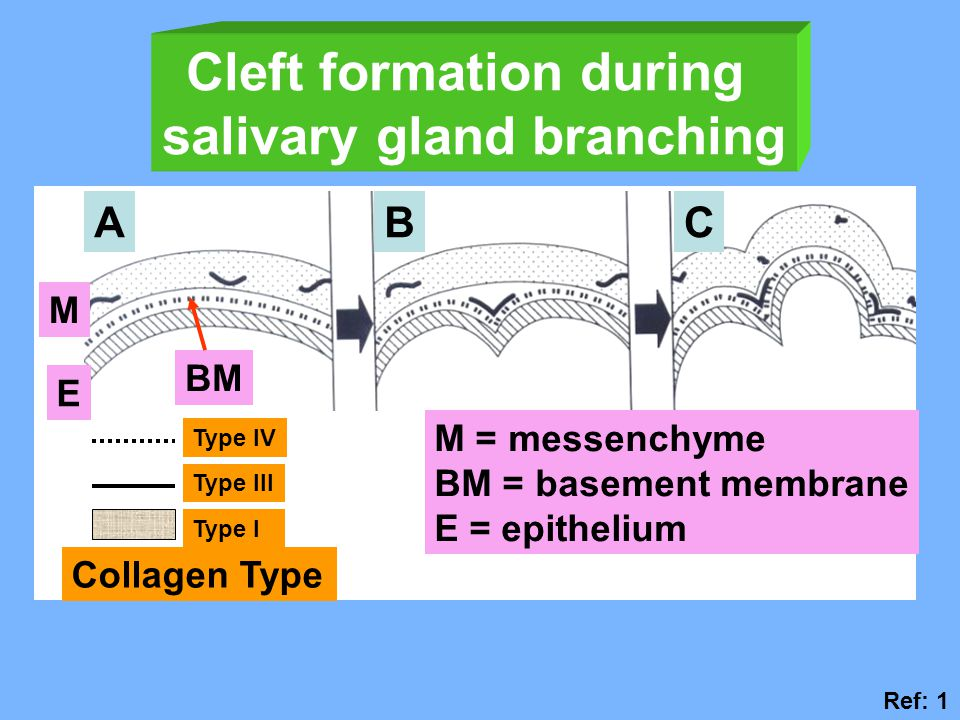 Cleft formation during salivary gland branching ABC M BM E M = messenchyme BM = basement membrane E = epithelium Type IV Type III Type I Collagen Type Ref: 1
