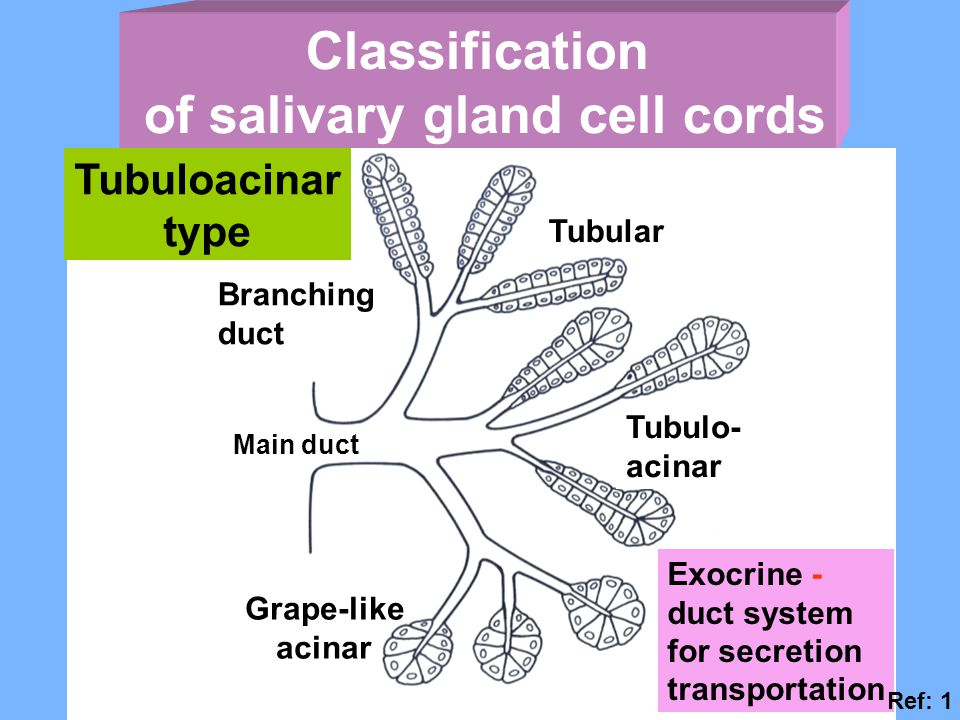 Classification of salivary gland cell cords Tubuloacinar type Exocrine - duct system for secretion transportation Tubular Tubulo- acinar Branching duct Main duct Grape-like acinar Ref: 1