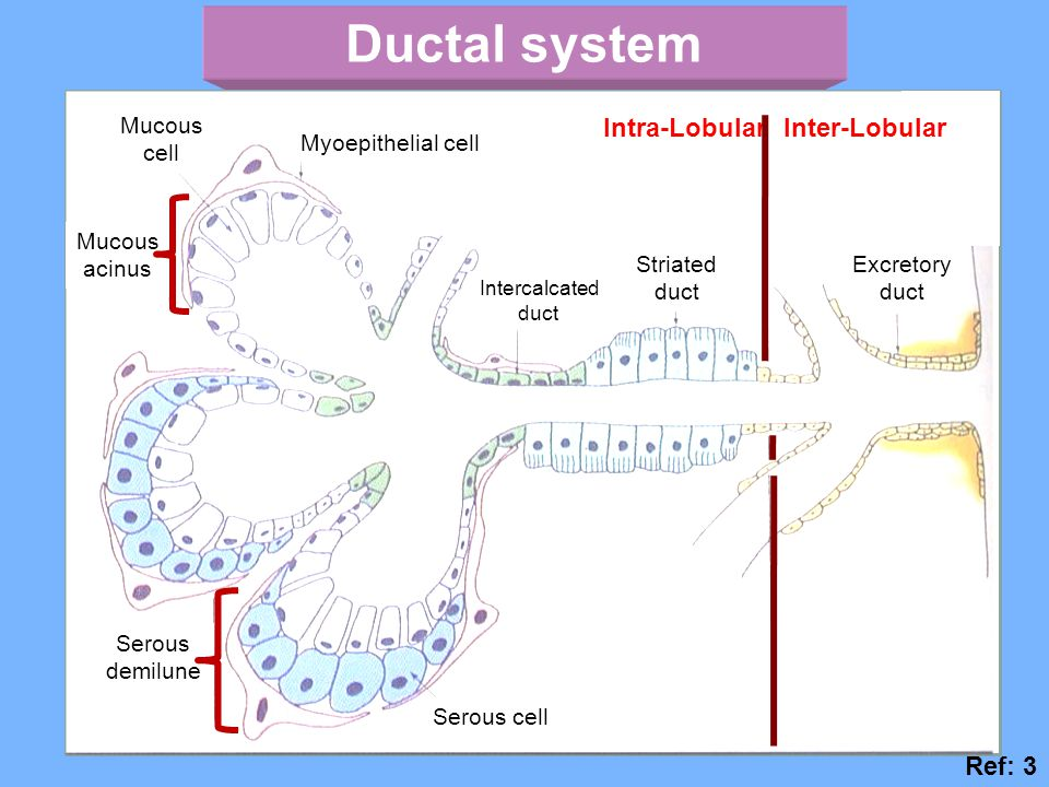 Ductal system Ref: 3 Intra-Lobular Striated duct Excretory duct Serous cell Serous demilune Mucous acinus Mucous cell Intercalcated duct Myoepithelial