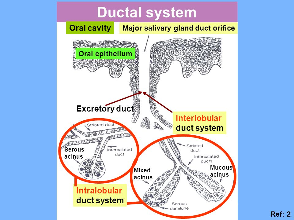 Ductal system Oral cavity Major salivary gland duct orifice Oral epithelium Interlobular duct system Intralobular duct system Excretory duct Mucous ac