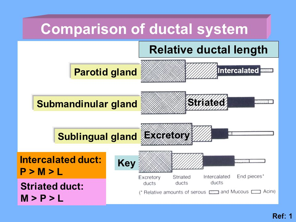 Comparison of ductal system Relative ductal length Parotid gland Submandinular gland Sublingual gland Key Excretory Striated Intercalated Intercalated duct: P > M > L Striated duct: M > P > L Ref: 1
