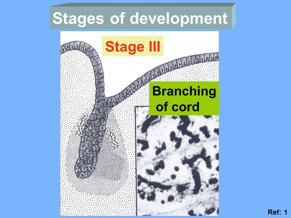Stages of development Stage III Branching of cord Ref: 1
