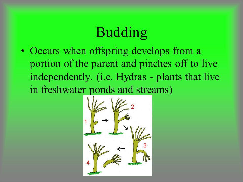 Budding Occurs when offspring develops from a portion of the parent and pinches off to live independently.