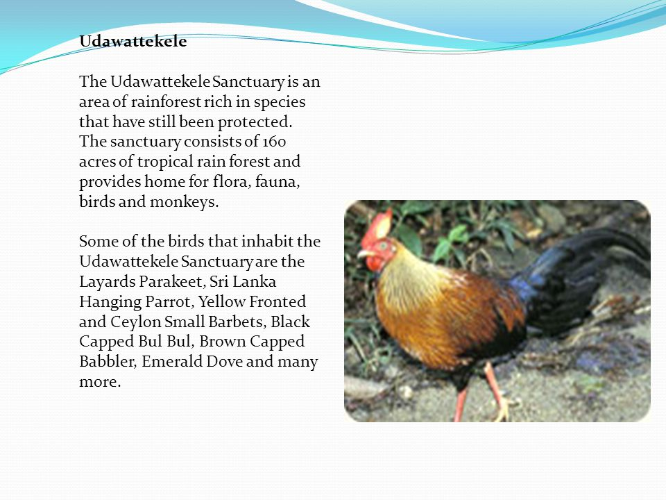 Udawattekele The Udawattekele Sanctuary is an area of rainforest rich in species that have still been protected.