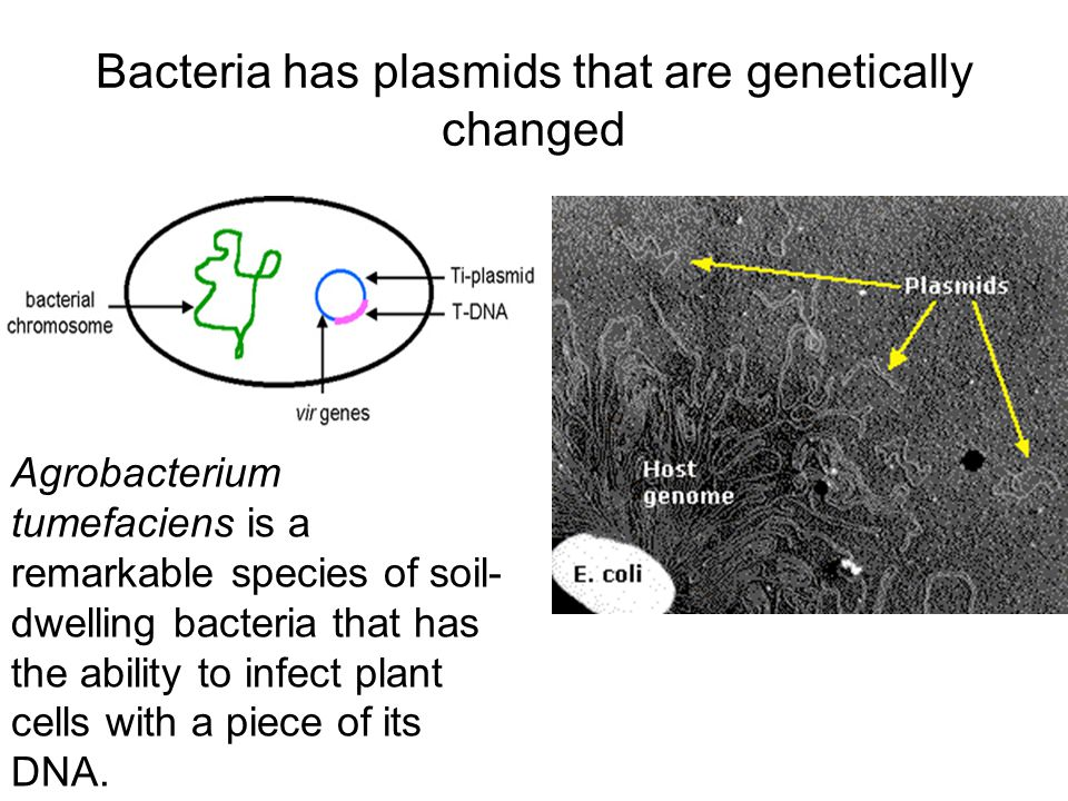 Bacteria has plasmids that are genetically changed Agrobacterium tumefaciens is a remarkable species of soil- dwelling bacteria that has the ability to infect plant cells with a piece of its DNA.