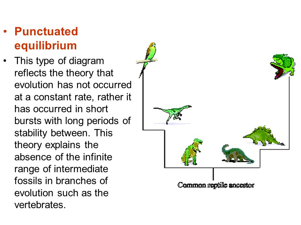 Punctuated equilibrium This type of diagram reflects the theory that evolution has not occurred at a constant rate, rather it has occurred in short bu