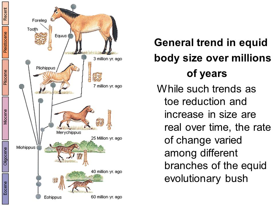 The cladogram graphically represents a evolutionary process Phylogenetic tree of the evolutionary relatedness of organisms