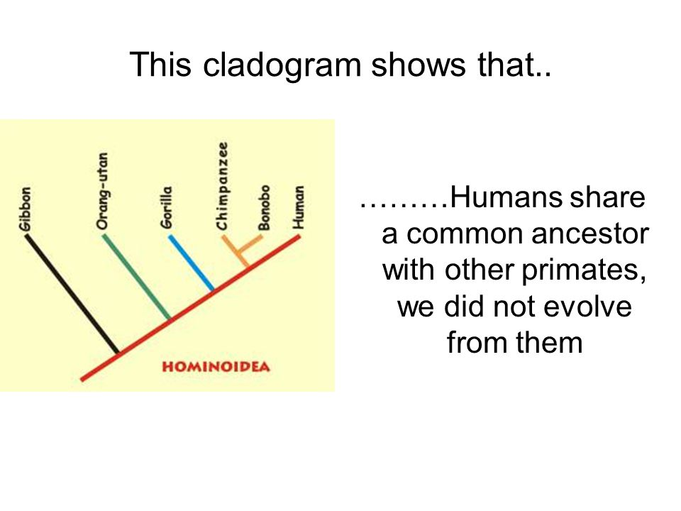 This cladogram shows that.. ………Humans share a common ancestor with other primates, we did not evolve from them