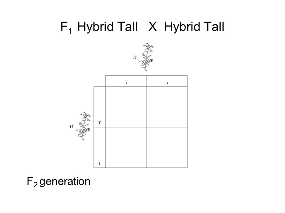 Section 11-2 Tt X Tt Cross Go to Section: F 1 Hybrid Tall X Hybrid Tall F 2 generation