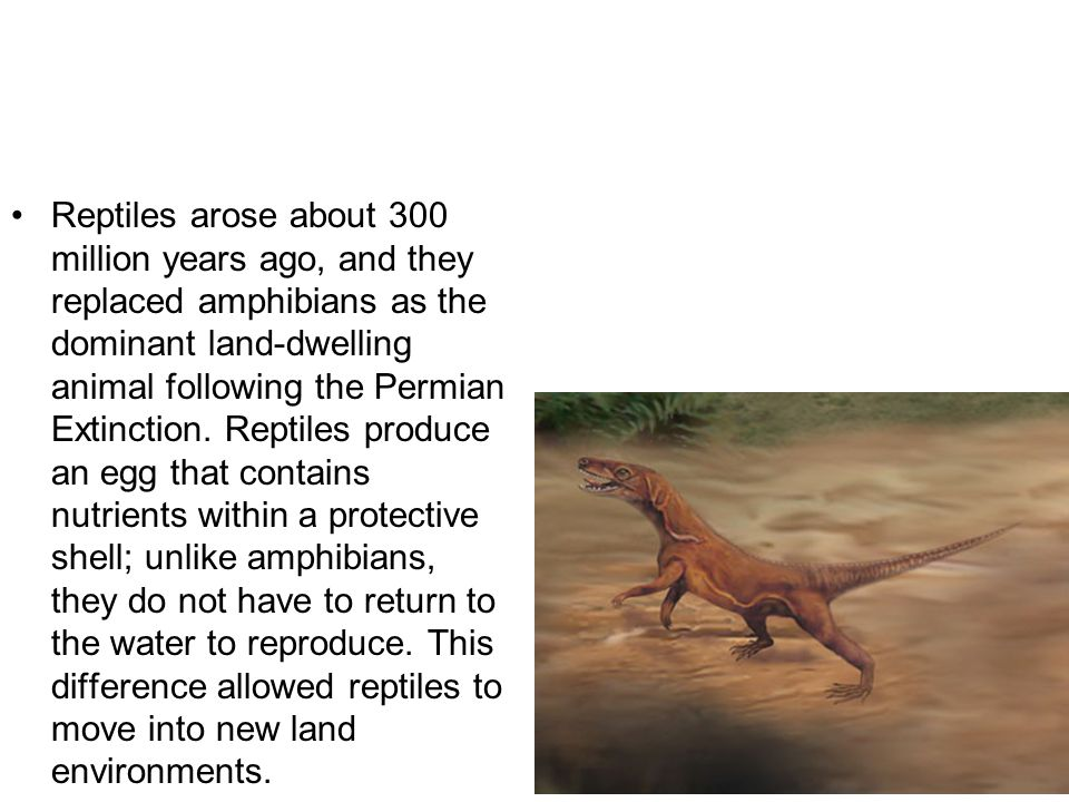 First Dinosaurs Approximately 230 million years ago, during the Triassic Period, the dinosaurs appeared, evolved from the reptiles