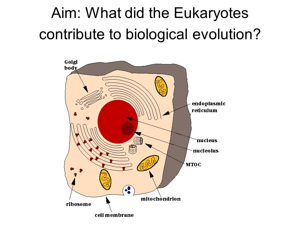 Eukaryotic cells Characteristics: Nucleus enclosed by a membrane Membrane covered organelles