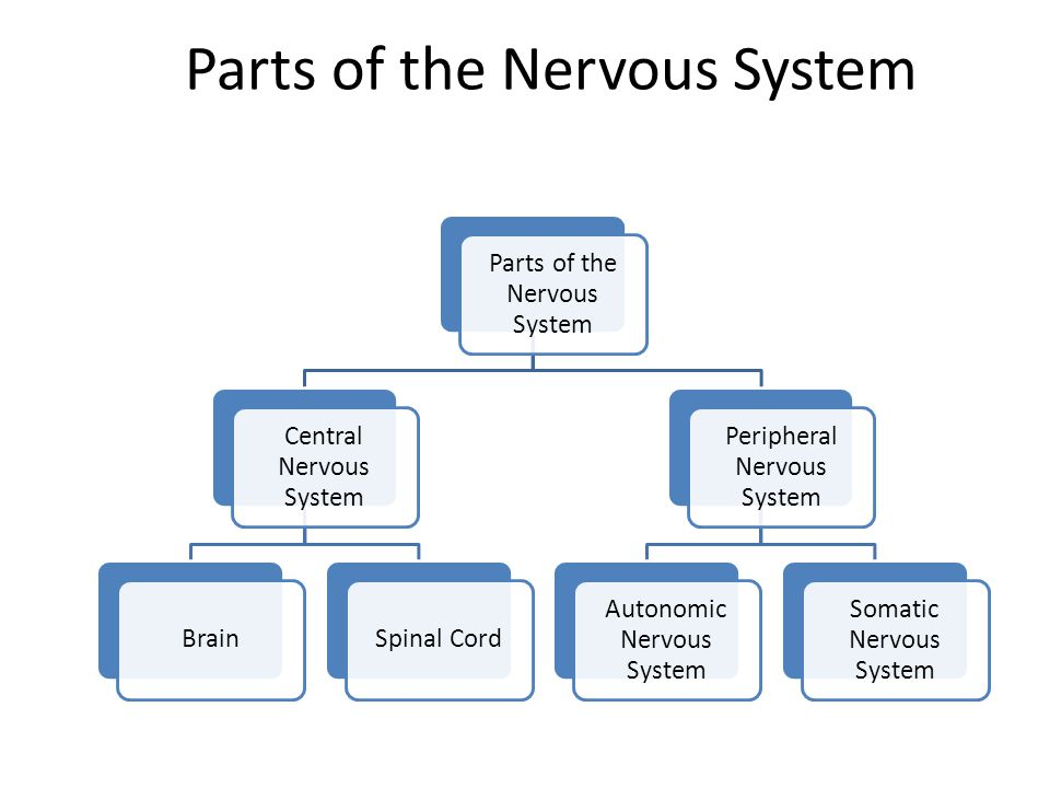 Parts of the Nervous System Central Nervous System BrainSpinal Cord Peripheral Nervous System Autonomic Nervous System Somatic Nervous System