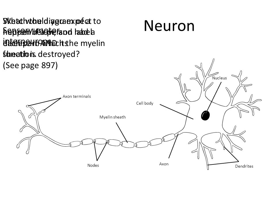 Membrane Potential Describe the difference in charge between the inside and outside of the nerve cell (a).