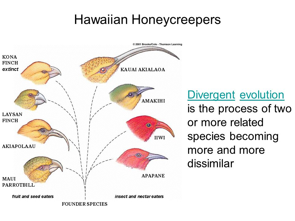 Hawaiian Honeycreepers Divergent evolution is the process of two or more related species becoming more and more dissimilar