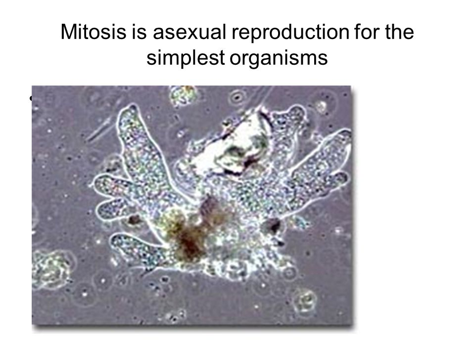 Mitosis is asexual reproduction for the simplest organisms Amoeba
