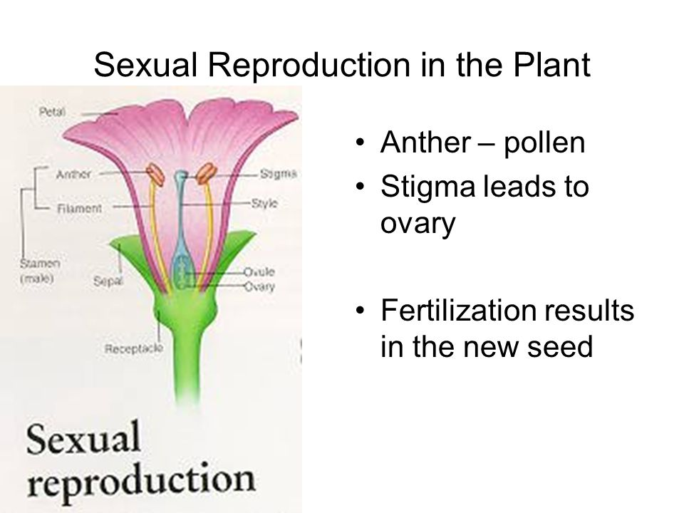 Sexual Reproduction in the Plant Anther – pollen Stigma leads to ovary Fertilization results in the new seed
