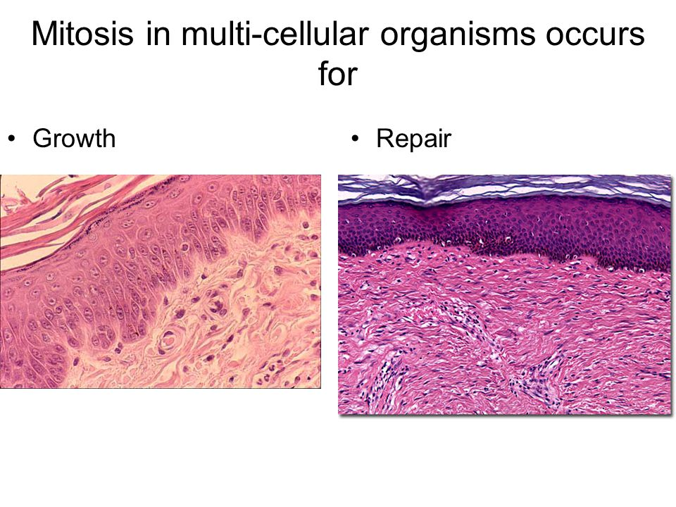 Mitosis in multi-cellular organisms occurs for GrowthRepair