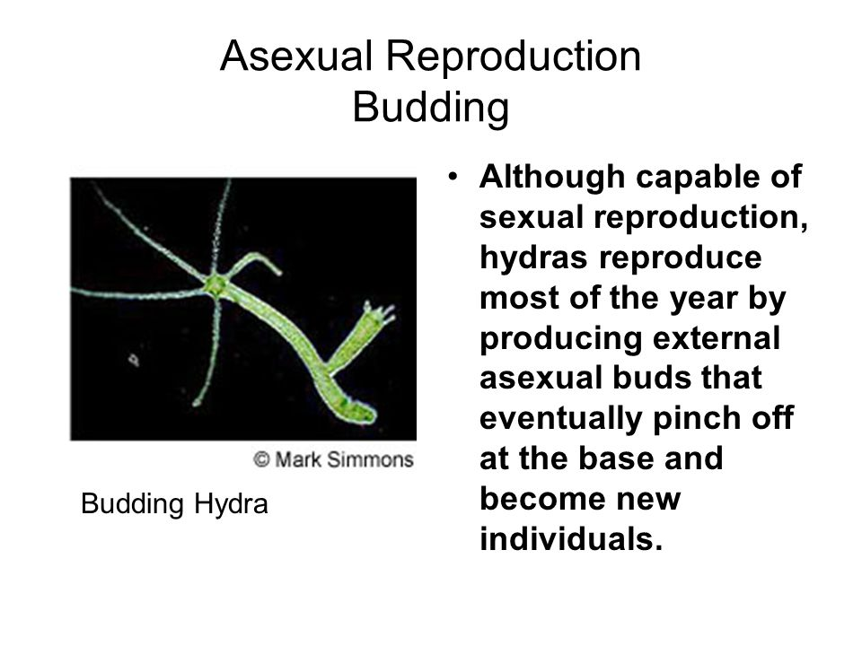 Asexual Reproduction Budding Although capable of sexual reproduction, hydras reproduce most of the year by producing external asexual buds that eventually pinch off at the base and become new individuals.