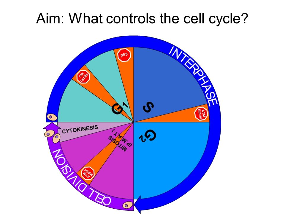 Aim: What controls the cell cycle?