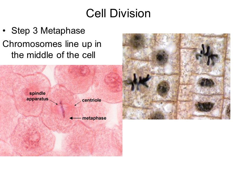 Cell Division Step 4 Anaphase Double stranded chromosomes pull away from each other Animal Cell Plant Cell