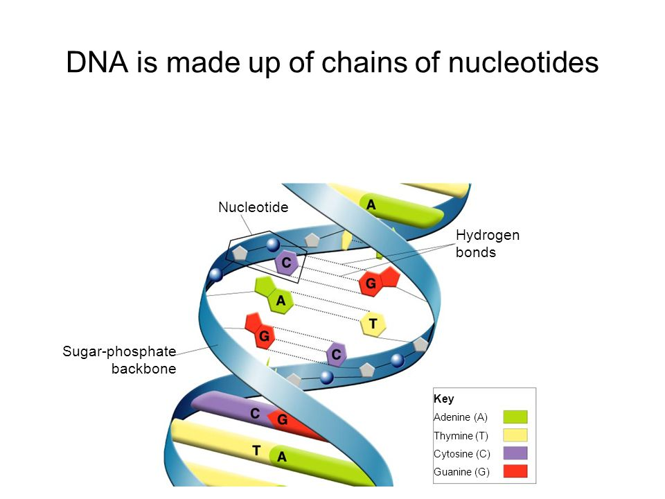 Hydrogen bonds Nucleotide Sugar-phosphate backbone Key Adenine (A) Thymine (T) Cytosine (C) Guanine (G) DNA is made up of chains of nucleotides Go to Section: