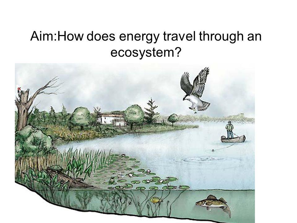 Aim:How does energy travel through an ecosystem