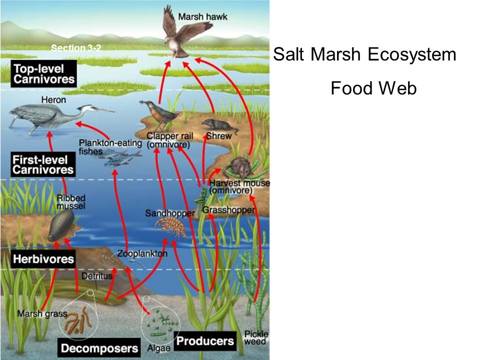 Section 3-2 Salt Marsh Ecosystem Food Web