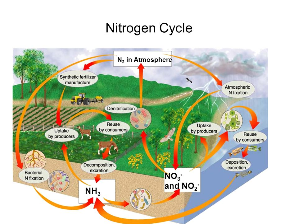 N 2 in Atmosphere NH 3 NO 3 - and NO 2 - Section 3-3 The Nitrogen Cycle Go to Section: Nitrogen Cycle