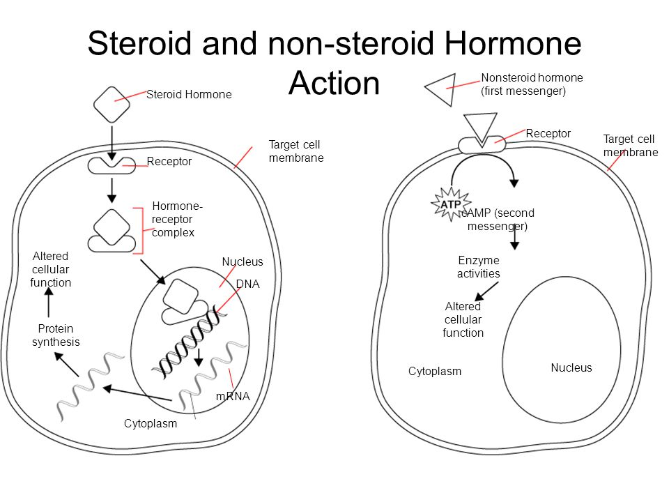 Steroid Hormone Target cell membrane mRNA Cytoplasm Protein synthesis Altered cellular function Receptor Hormone- receptor complex Nucleus DNA Nonsteroid hormone (first messenger) Receptor Target cell membrane cAMP (second messenger) Enzyme activities Altered cellular function Cytoplasm Nucleus Steroid and non-steroid Hormone Action Section 39-1