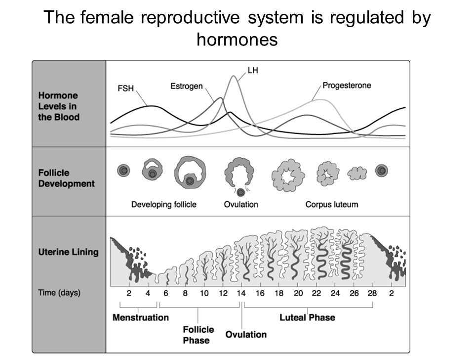 The female reproductive system is regulated by hormones Section 39-3
