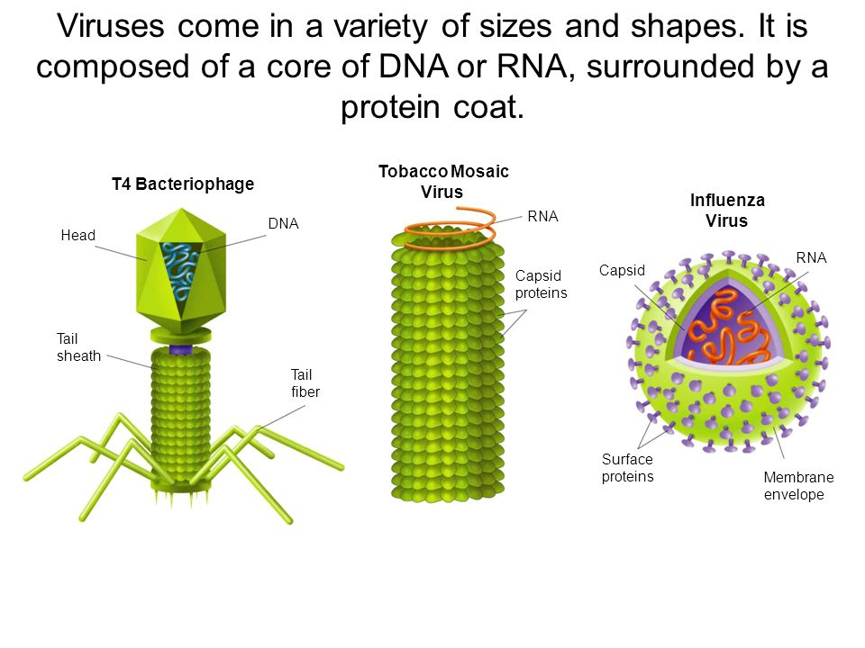 T4 Bacteriophage Tobacco Mosaic Virus Influenza Virus Head Tail sheath DNA Tail fiber RNA Capsid Surface proteins Membrane envelope RNA Capsid proteins Section 19-3 Figure 19-13 Virus Structures Go to Section: Viruses come in a variety of sizes and shapes.